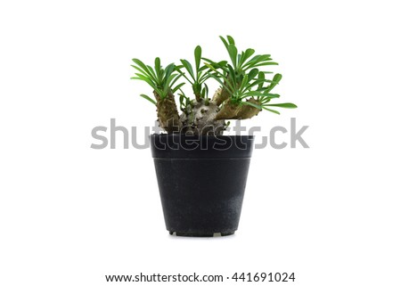 cactus in a pot isolated on white background.