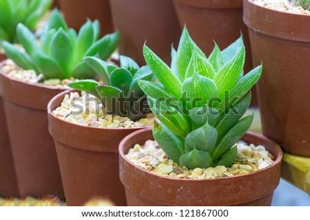 cactus in brown pot - stock photo