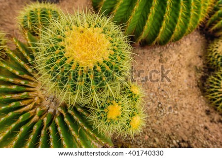 cactus in desert.cactus.Nature green background or wallpaper: domestic cactus closeup. Cactus planted in a botanical garden. - stock photo