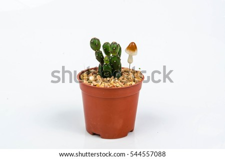 Cactus in small pot on white background