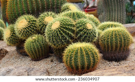 Cactus  is plant of family Cactaceae.
