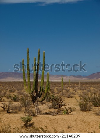 Cactus isolated in the desert of Baja California - Mexico - stock photo