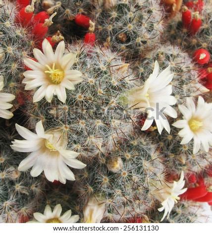 Cactus Mammillaria flowers closeup - stock photo