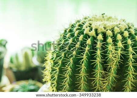 cactus.Nature green background or wallpaper: domestic cactus closeup. - stock photo