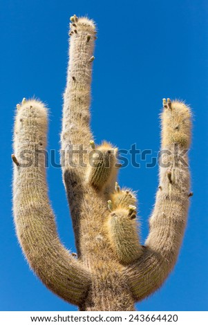 Cactus on the Cactus island in Uyuni Salt desert, Bolivia, - stock photo