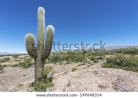 Cactus on the colourful valley of Quebrada de Humahuaca in Jujuy Province, northern Argentina. - stock photo