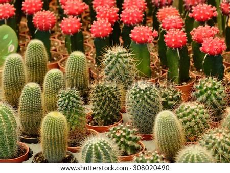 Cactus Plant - stock photo