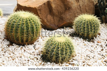 Cactus planted in a botanical garden. - stock photo