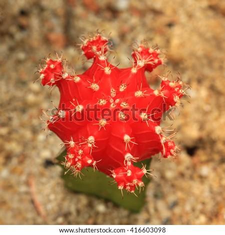 Cactus Succulent Plant, top view - stock photo