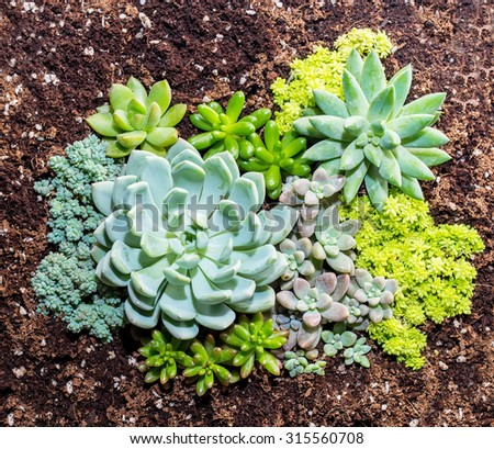 cactus succulents in a planter - stock photo