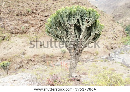 Cactus tree (Euphorbia candelabrum), Simien mountains, Ethiopia  - stock photo