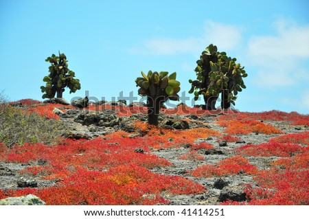 Cactus Trees on a Galapagos Islands - stock photo