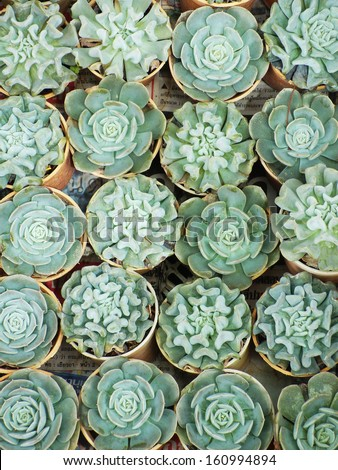 cactus variety - stock photo