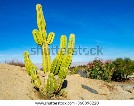 Cactus variety from north American located in Palm Desert, California. - stock photo
