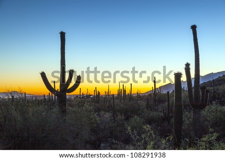 cactus with golden sunset and blue sky - stock photo