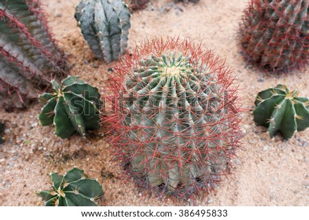 cactus with red thorn