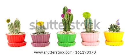 Cactuses in flowerpots with flowers, isolated on white - stock photo