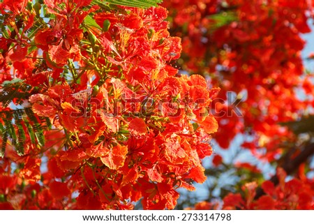 Caesalpinia pulcherrima (L.) Sw. tree, Orange flower background. - stock photo