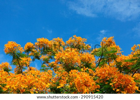 Caesalpinia pulcherrima or Barbadose Pride blooming in the garden - stock photo