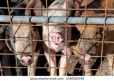 Caged pigs - stock photo