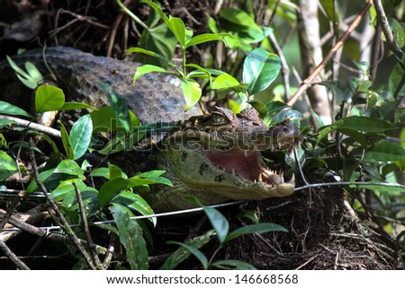 Caiman (alligatorid crocodylians) in its natural environment in the jungle.  - stock photo