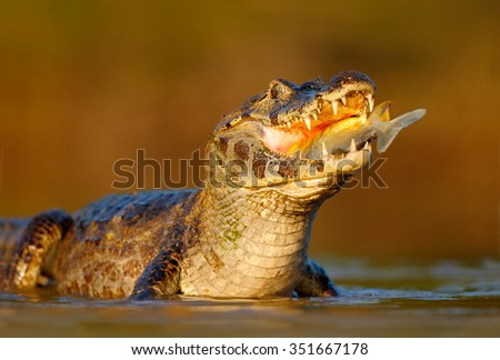 Caiman, Yacare Caiman, crocodile with fish in mouth with evening sun, in the river, Pantanal, Brazil - stock photo
