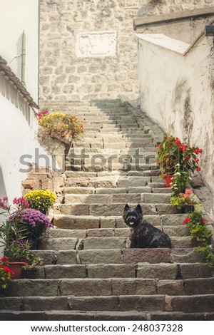 Cairn Terrier sitting at old staircase in Szentendre, summer - stock photo