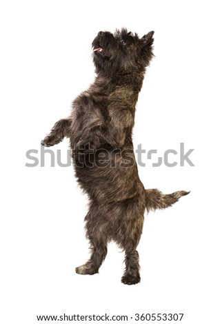 Cairn Terrier standing on two legs