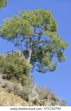 Calabrian or Turkish Pine Tree - Pinus brutiaTroodos Mountains, Cyprus - stock photo