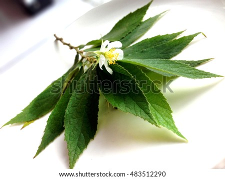 Calabura,Malayan Cherry,Jam tree or Jamaican cherry.The softwood This membrane can be used to make paper.Jamaican cherry flower on plant.The flowers can be dried and brewed as a tea or coffee drink.