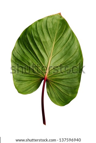 Caladium leaf isolated on white background - stock photo