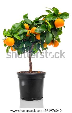 Calamondin in flowerpot isolated on white background - stock photo