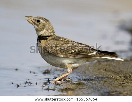 Calandra lark  Melanocorypha calandra - stock photo