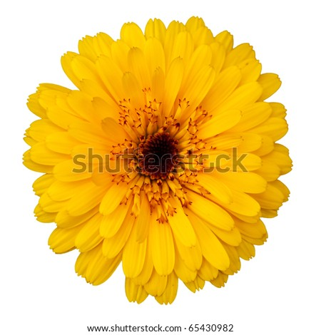 Calendula blossom, isolated on white