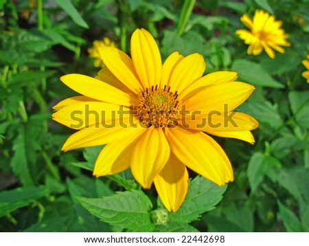 Calendula broad-leaved