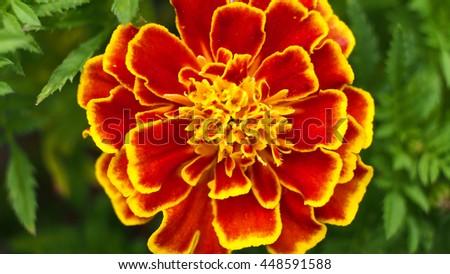 Calendula Flower Blooms - stock photo