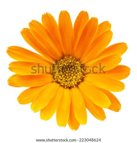 Calendula flower isolated on white background - stock photo