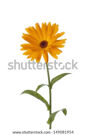 Calendula flower on white background