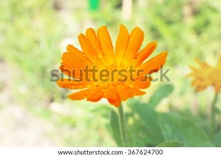 Calendula flower, outdoors - stock photo