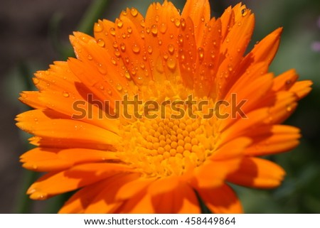 Calendula flower with dew drops