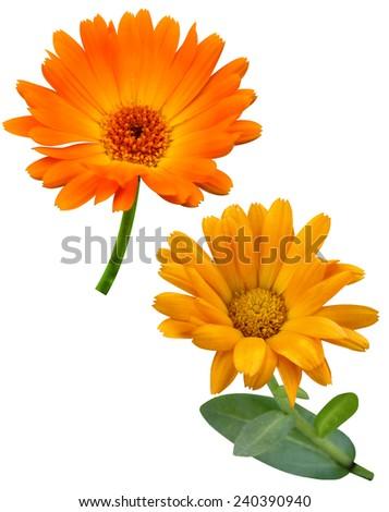 Calendula flowers - stock photo