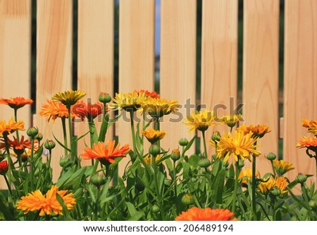 Calendula flowers before new wooden fence - stock photo