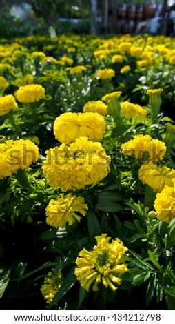 Calendula  Flowers Field - stock photo