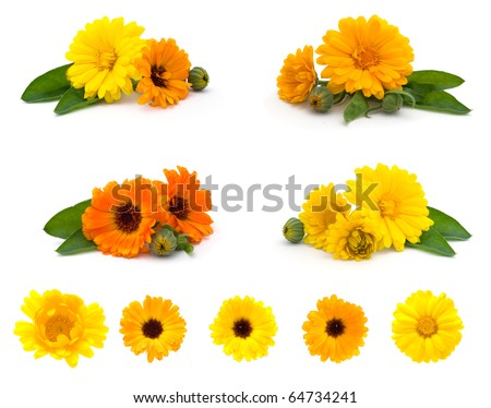 calendula flowers isolated on the white background - stock photo