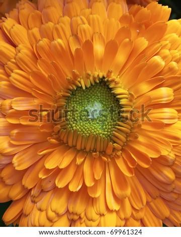 calendula flowers, natural background - stock photo