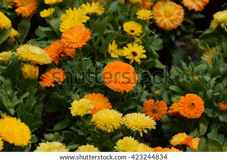 Calendula flowers with yellow and orange petals. Springtime background. - stock photo