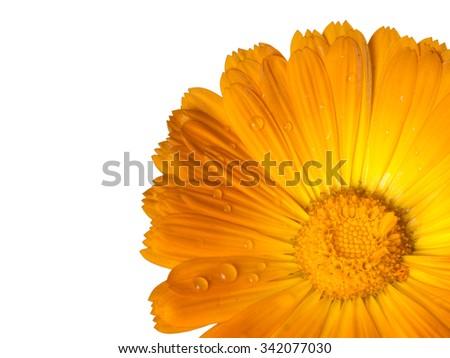 Calendula. Marigold, close and cropped. Real raindrops. Isolated on white. Aka pot marigold, ruddles, common marigold, garden marigold, English marigold, Scottish marigold - stock photo