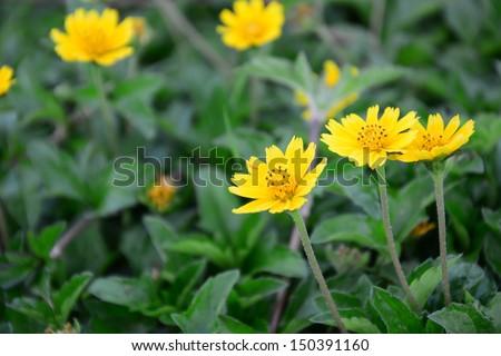 Calendula. Marigold flowers with leaves - stock photo