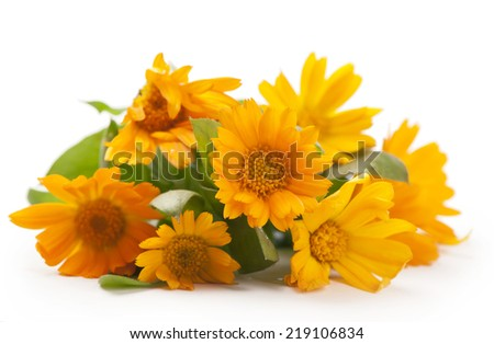 Calendula. Marigold flowers with leaves isolated on white