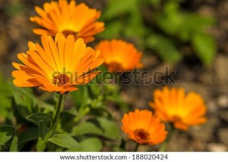 Calendula, medicinal plant - stock photo